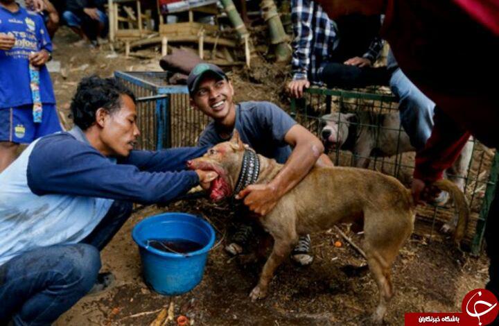رسم  وحشیانه جنگ سگ و گراز در اندونزی + تصاویر