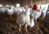 باشگاه خبرنگاران -تلاش کارشناسان دامپزشکی گلستان برای کنترل آنفلوانزای پرندگان