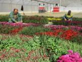 باشگاه خبرنگاران - آغاز بذرگیری گیاهان و گلهای فصلی ارومیه