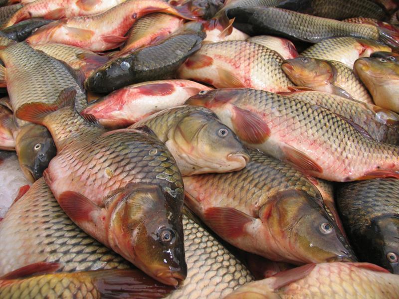 واردات تیلاپیا خیانت ملی است/بازار ناخوش ماهیان گرم آبی