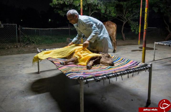 زندگی عجیب مرد هندی با یک گاو در زیر یک سقف! تصاویر