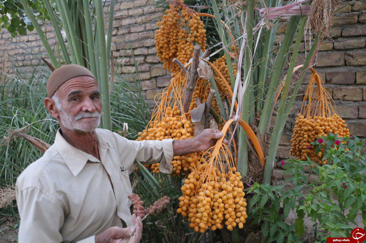 کشاورز گنابادی در انتظار برداشت خرما در اوایل پاییز+تصاویر