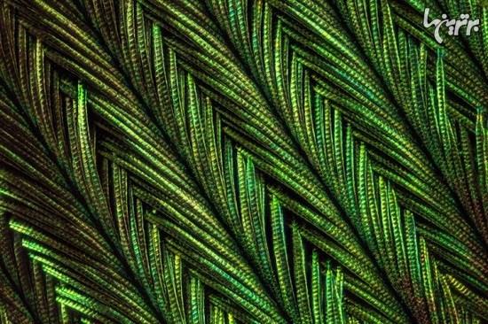 تصاویر ماکروی باورنکردنی از پرهای طاووس