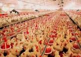 باشگاه خبرنگاران - اطلاعیه بهداشتی دامپزشکی برای پیشگیری از آنفلوانزای پرندگان