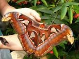 باشگاه خبرنگاران -بزرگترین پروانه جهان را بشناسید +عکس