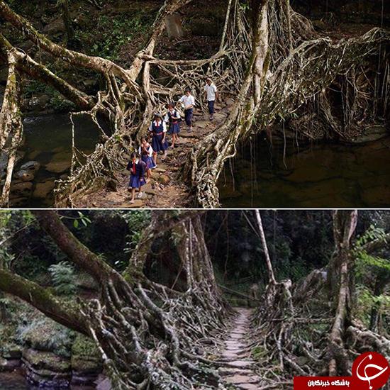 این پل زنده است +تصاویر