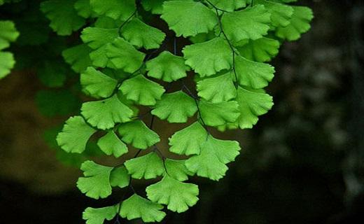 معجزه گیاهان دارویی در تسکین سرفه/تسکین سرفه با گیاهان شفابخش