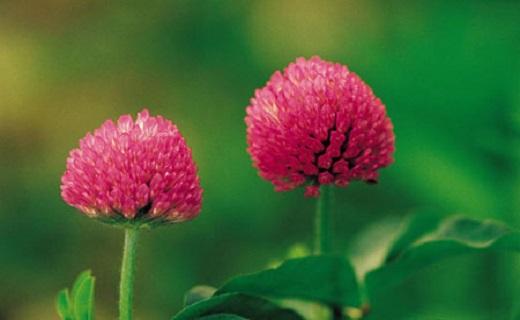 رهایی از عوارض یائسگی با دمنوشهای خانگی/عوارض یائسگی را با گیاهان دارویی به زانو درآورید