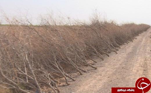سرمازدگی دسترنج یکساله کشاورزان سمنانی