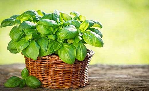 وزوزگوش را با دمنوشهای خانگی در نطفه خفه کنید/ارمغان گیاهان دارویی برای وزوزگوش/تسلیم وزوزگوش در برابر گیاهان شفابخش