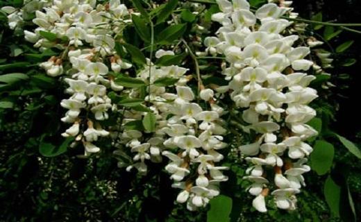 رهآورد گیاهان در بهبود گل مژه/توقف رشد گل مژه با نسخههای خانگی