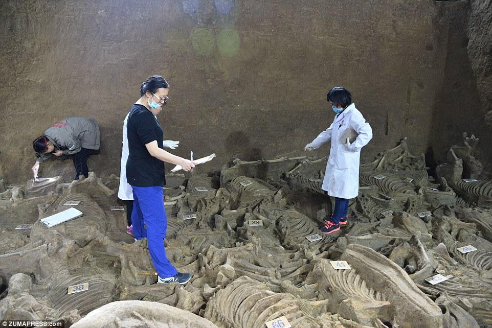 1-کشف مقبره ۲ هزارساله درچین به همراه اسکلت صدها اسب+ تصاویر2-کشف عجیبترین مقبره چینی با اسکلت هزاران حیوان+ تصاویر