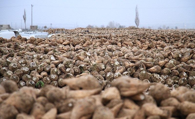 توسعه کشت نشایی چغندر قند از سال آینده در اسدآباد