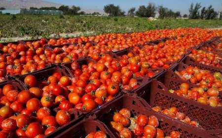 ۵۴۰ هزار تن گوجه فرنگی خارج از فصل در استان بوشهر برداشت میشود