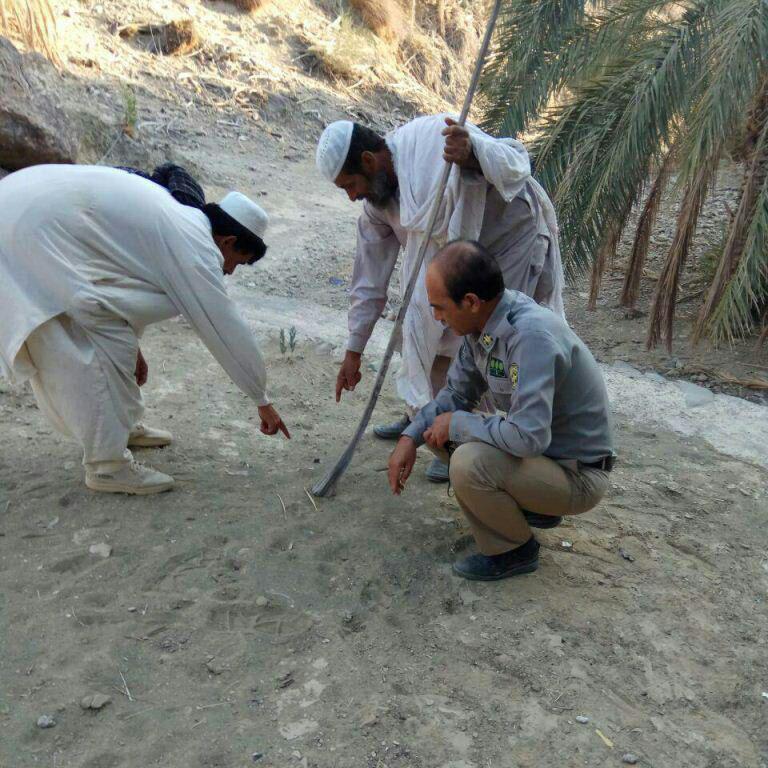حمله پلنگ به احشام مردم در جنوب سیستان و بلوچستان
