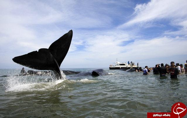 نجات 6 نهنگ از به گل نشستن در سواحل اندونزی+تصاویر