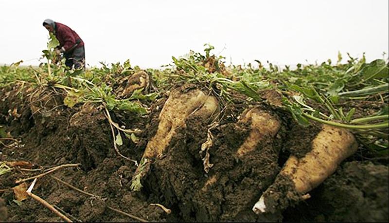 چغندرقند کشاورزان نباید روی زمین بماند