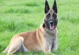 باشگاه خبرنگاران -اعطای مدال افتخار به سگ شجاع ارتش انگلیس به پاس خدماتش!+ تصاویر