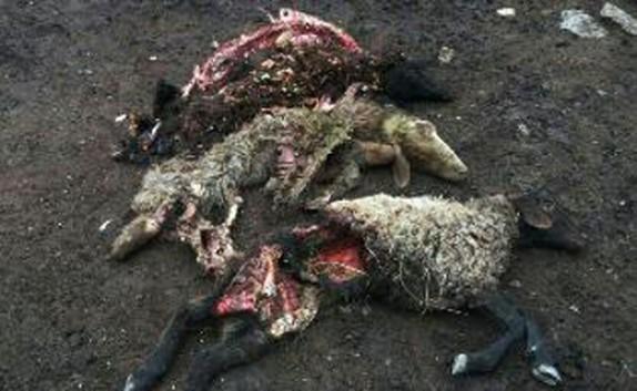 باشگاه خبرنگاران -حمله شبانه گرگها به گله گوسفندان در گلوگاه