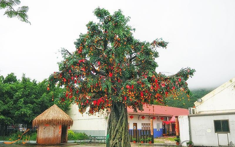 درختی که آرزوها را بر آورده میکند+تصاویر