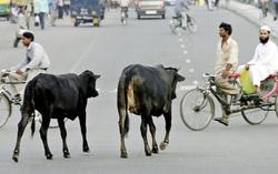 اهانت به گاو در هند توریست آرژانتینی را به کام مرگ برد