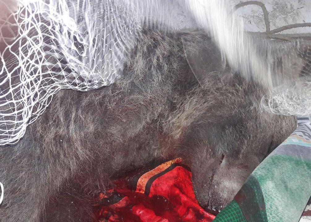 باشگاه خبرنگاران -آسیب دیدگی یک قلاده خرس در تصادف با خودروهای عبوری محور کرج-چالوس