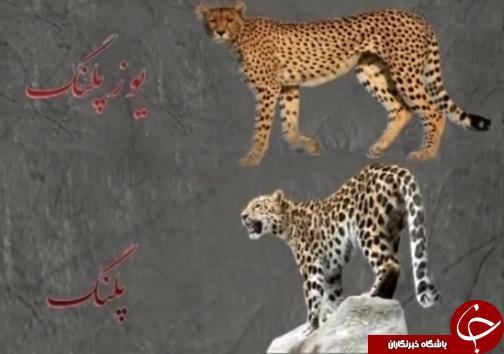 خطر انقراض پلنگ زاگرس گونه ی کمیاب حیات وحش لرستان /