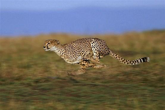 سریع ترین جانوران کره زمین+تصاویر