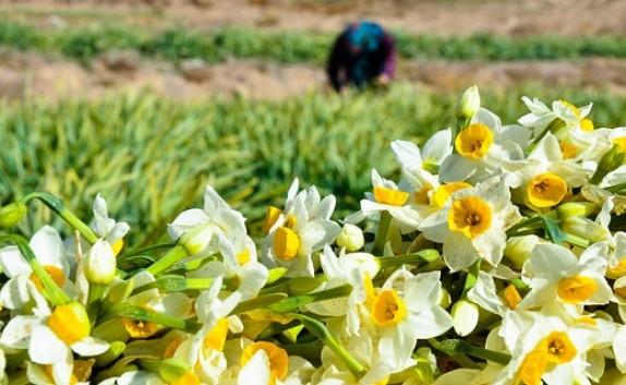 باشگاه خبرنگاران -برداشت 13و نیم میلیون شاخه گل نرگس دراستان