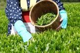 ۶۵ درصد مطالبات چایکاران پرداخت شد/ بیمه فراگیر باغات چای اجرایی میشود
