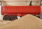 باشگاه خبرنگاران -ابرکوه برای چهارمین سال متوالی رتبه نخست خرید گندم را در استان به خود اختصاص داد