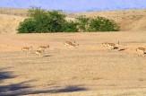 باشگاه خبرنگاران -شروع سرشماری زمستانه پستانداران در ایلام