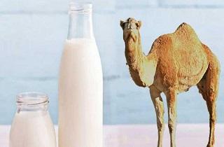 خواص معجزهآسای شیر شتر؛ از سمزدایی بدن تا رفع کمخونی!