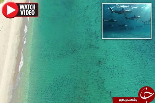 هجوم همزمان ۱۰ هزار کوسه به ساحل فلوریدا+ تصاویر