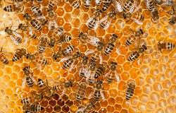واردات چمدانی ملکه زنبور عسل/عسل های قاچاق در بازار جولان می دهند
