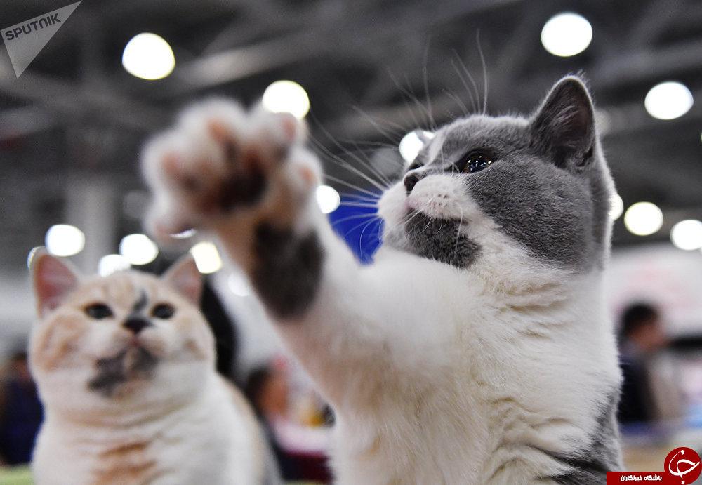 نگاهی به نمایشگاه بین المللی گربه ها در مسکو+تصاویر