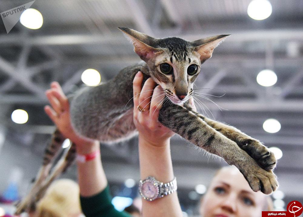 نگاهی به نمایشگاه بینالمللی گربهها در مسکو+تصاویر