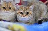 باشگاه خبرنگاران -نگاهی به نمایشگاه بینالمللی گربهها در مسکو+ تصاویر