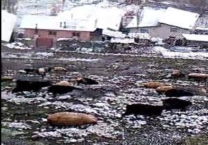 احشام در چراگاه به استقبال زمستان میروند + فیلم