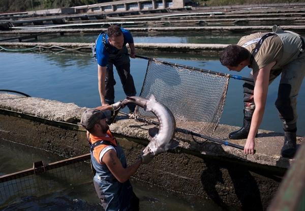 منطقه آزاد ماکو رتبه یک کشور در تولید آبزیان شهرهای غیرساحلی را دارد