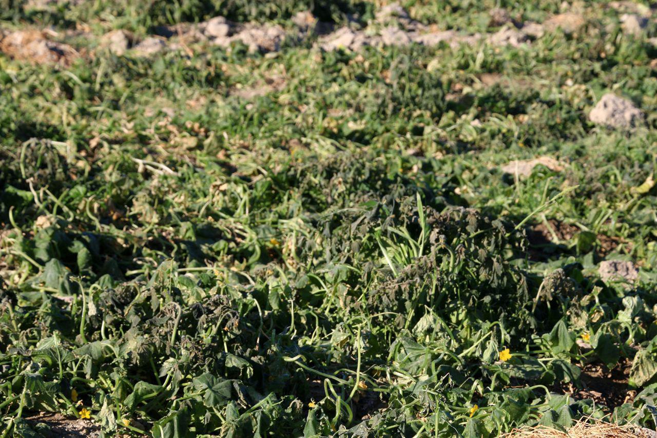 مزارع کشاورزی در هشت بندی دچار سرمازگی شدند + تصاویر