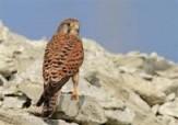 باشگاه خبرنگاران -درمان دو بهله پرنده شکاری مصدوم