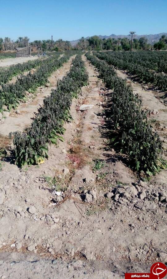 سرما، خسارت فراوانی به مزارع کشاورزی