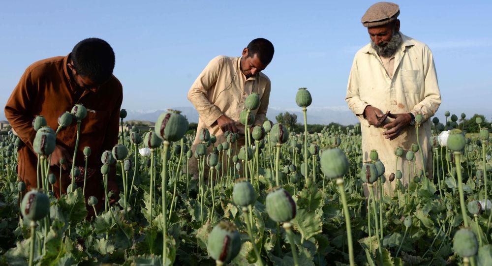 افغانستان و میانمار، کشورهای عمده تولید کننده تریاک در جهان