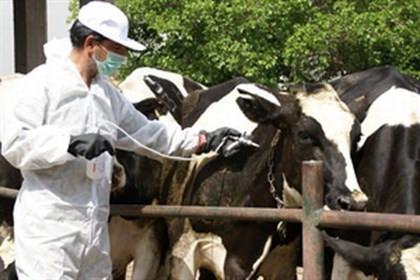 بیش از ۵۰ هزار راس دام علیه تب برفکی در ایرانشهر واکسینه شدند