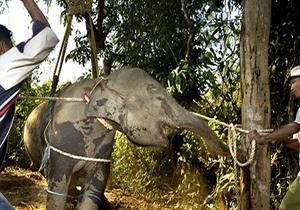 شکنجه یک فیل توسط سه مربی در حین آموزش+فیلم