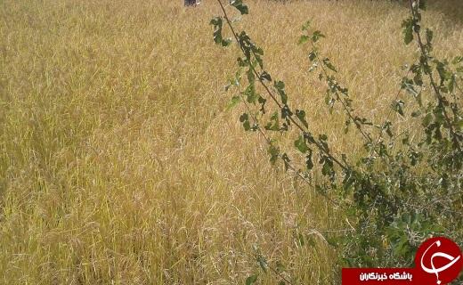 نمایی زیبا از مزرعه برنج در روستای ایدلیک + تصاویر