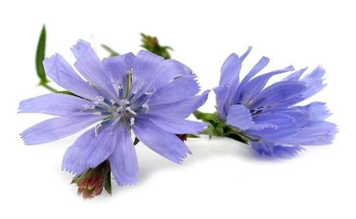 موثرترین گیاهان دارویی برای مقابله با سرخجه/ نابودی سرخجه با نسخههای گیاهی