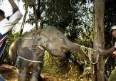 باشگاه خبرنگاران -فیلمی دردناک از بلایی که سه مرد هندی سر یک فیل آوردند!