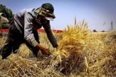 باشگاه خبرنگاران -کشاورزان به سیاست خرید تضمینی گندم عادت کردند